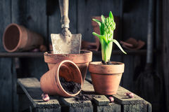 Planting a green crocus in an old wooden shed Royalty Free Stock Photos