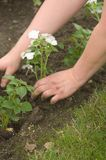 Planting Hands. Planting an impatient in a flower garden, 2 hands shown covering the roots of the plant Royalty Free Stock Image