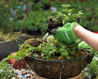 Planting a hanging basket. With young flowers stock photos