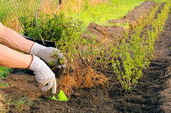 Planting a hedge Royalty Free Stock Photography