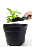 Planting Herb stock photography