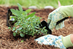 Planting Herbs Royalty Free Stock Photography
