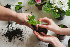Planting home plants indoors Royalty Free Stock Images