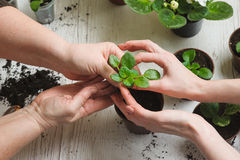 Planting home plants indoors Royalty Free Stock Photos