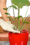 Planting houseplants with gloves Royalty Free Stock Image