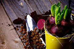 Planting Hyacinth Bulbs. And Gardening Tools closeup on Rustic Wooden background royalty free stock photos