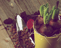 Planting Hyacinth Bulbs. With Gardening Tools closeup on Rustic Wooden background. Retro Styled Royalty Free Stock Images