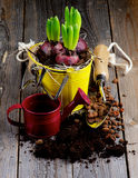 Planting Hyacinth Bulbs Stock Image