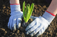 Planting a hyacinthus Stock Photography
