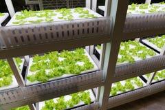 Planting hydroponics Stock Photo