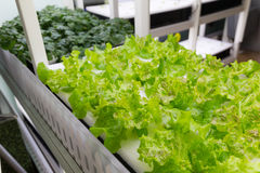 Planting hydroponics at indoor Stock Image
