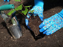 Planting ivy tree stock images