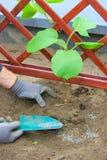 Planting a kiwi plant Royalty Free Stock Photo