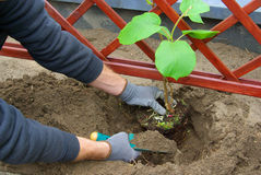 Planting a kiwi plant. In garden stock image