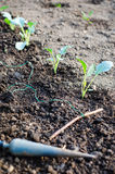 Planting kohlrabi seedlings Stock Photography