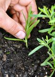 Planting lavender stock images