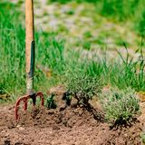 Planting a lavender plant in a garden bed with a spade. Stuck in the ground royalty free stock photography