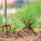 Planting a lavender plant in a garden bed with a spade. Stuck in the ground stock image