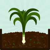 Planting leek and compost Stock Photos