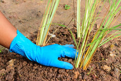 Planting a lemon grass Royalty Free Stock Photo