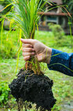 Planting lemongrass Stock Photos