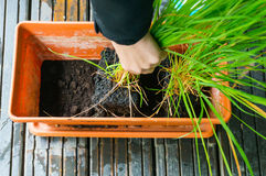 Planting lemongrass Royalty Free Stock Photo