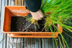 Planting lemongrass royalty free stock photo
