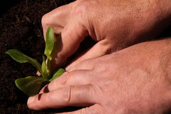 Planting lettuce 1 Royalty Free Stock Images