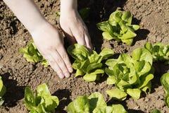 Planting lettuce Stock Image