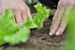 Planting lettuce Royalty Free Stock Photo