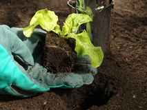 Planting lettuce, closeup Royalty Free Stock Photography