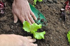 Planting lettuce Royalty Free Stock Image