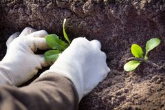 Plantings on salad. Planting of lettuce in soil Royalty Free Stock Photo