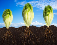Lettuces over Sky Panorama. Side view of three lettuces with the roots in the ground Royalty Free Stock Photo