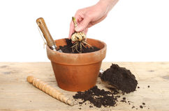 Planting a Lilly bulb Stock Images