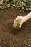 Planting a little plant. Woman planting a little plant stock photography
