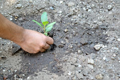 Planting a little plant Royalty Free Stock Photography