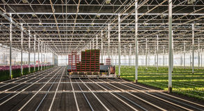 Fully automatic transplanter in a greenhouse. Planting machine plants chrysanthemum cuttings in a Dutch chrysanthemum flower nursery Stock Photos