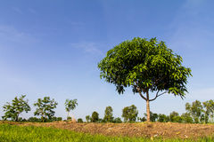 Planting mango trees Royalty Free Stock Photo