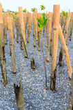 Planting mangrove tree Stock Photo