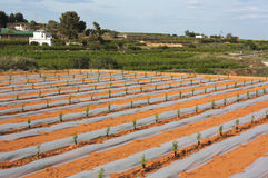 Planting melon in early stage Stock Images