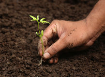 Planting neem plant Stock Images
