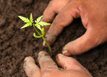 Planting neem plant Royalty Free Stock Photos