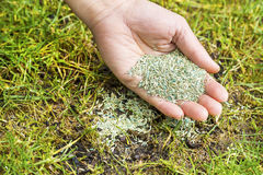 Planting new grass seed to bare spot on yard. Horizontal position of Female hand holding new grass seed with bare earth soil and old grass beneath as background royalty free stock photography