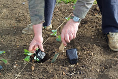 Planting new vegetables in the springtime. royalty free stock photos