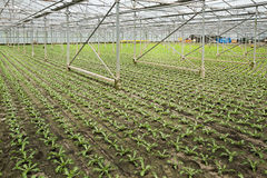 Planting new young andive plants Stock Photo