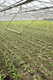 Planting new young andive plants Stock Photos