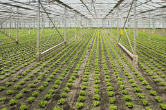 Planting new young salad plants Royalty Free Stock Photography