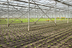 Planting new young salad plants. Overview working on new planting of young Salad plants in glasshouse in summer - horizontal Royalty Free Stock Image