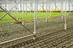 Planting new young salad plants Stock Photo